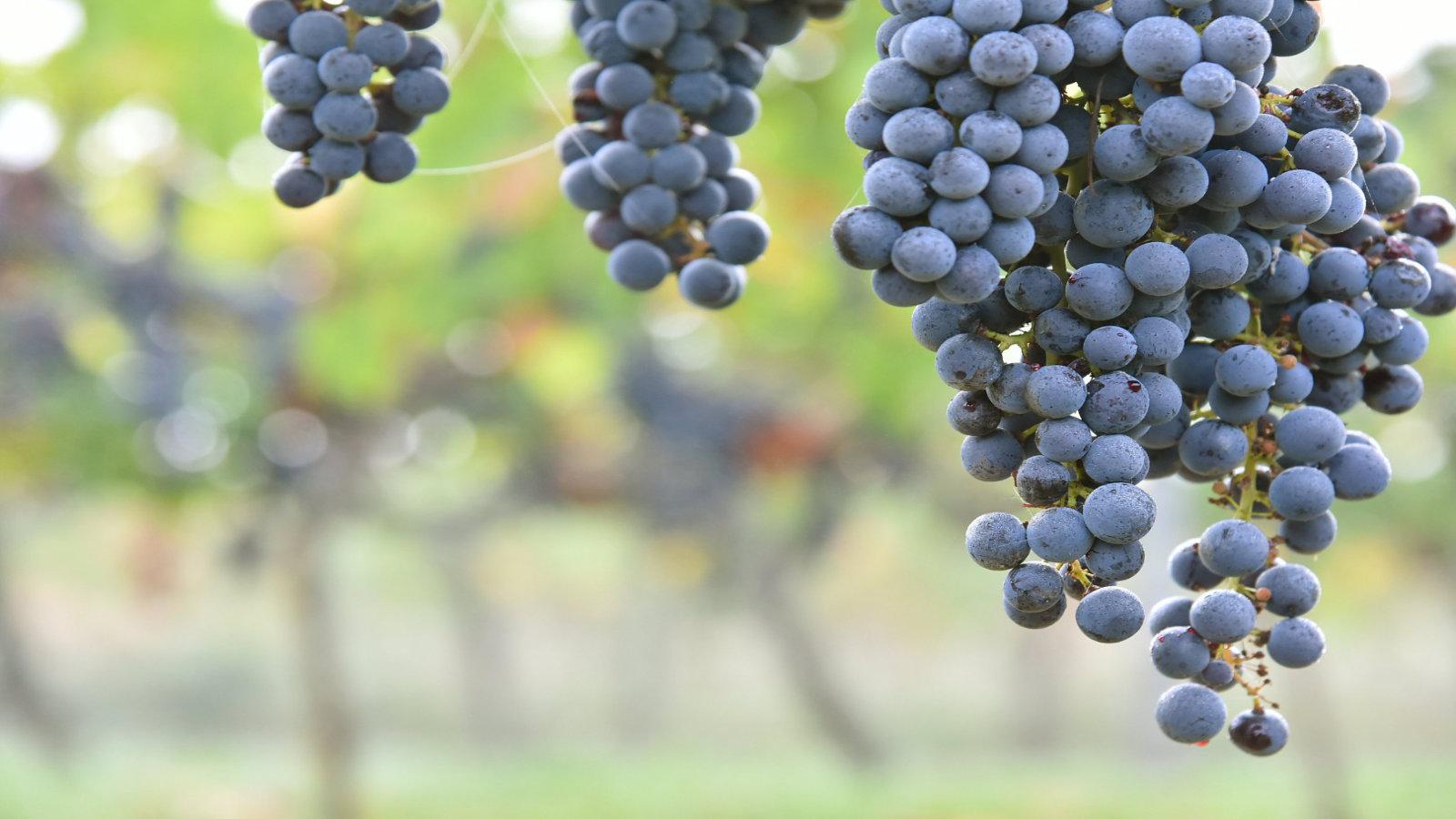 Raisins rouges des Vignobles Nadau