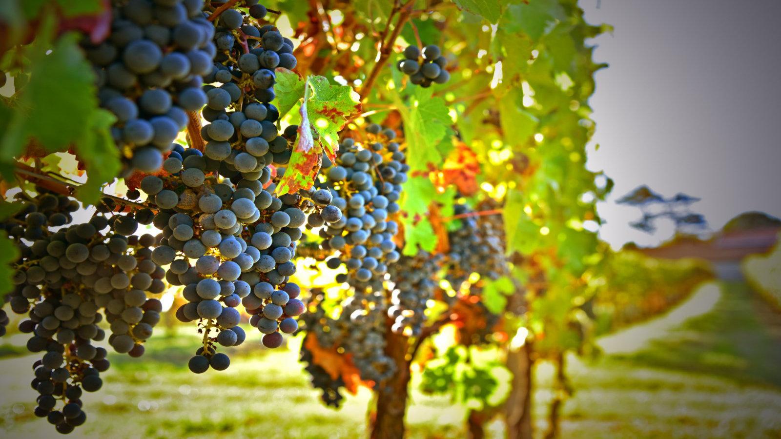 Raisins de notre domaine viticole