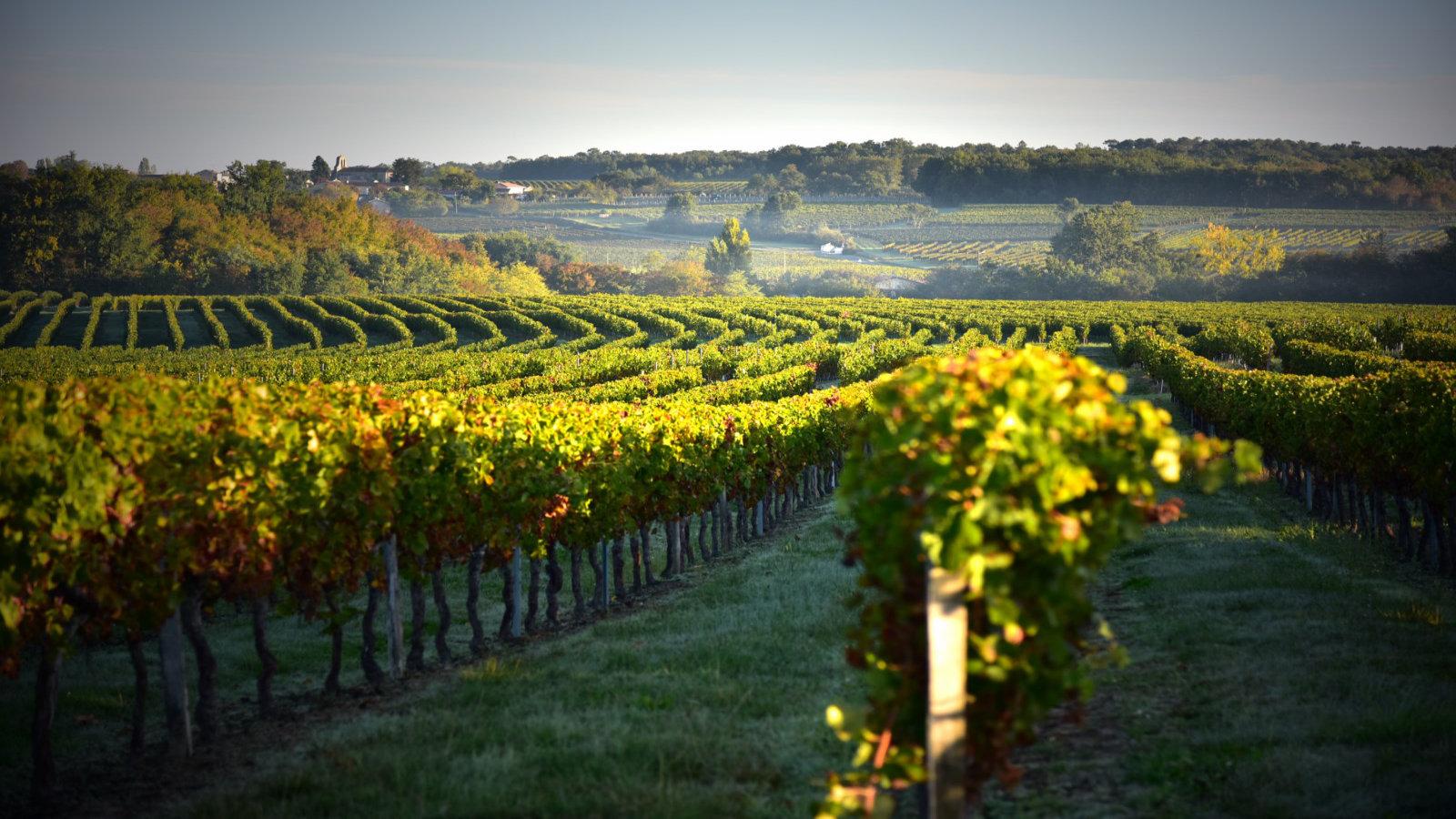Les vignes du domaine viticole